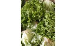 Salade batavia verte BIO. Aubagne